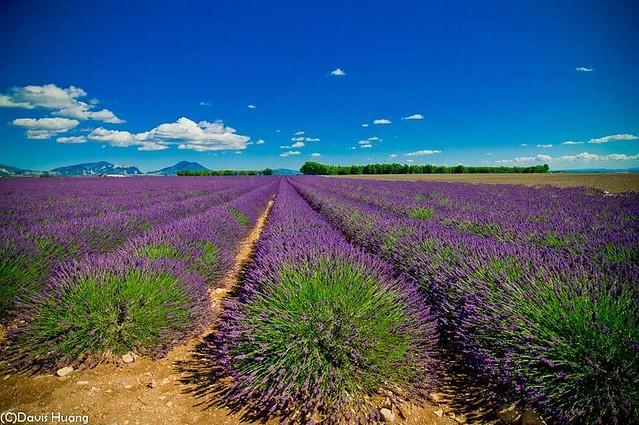 Lavender field - Valensole, Provence