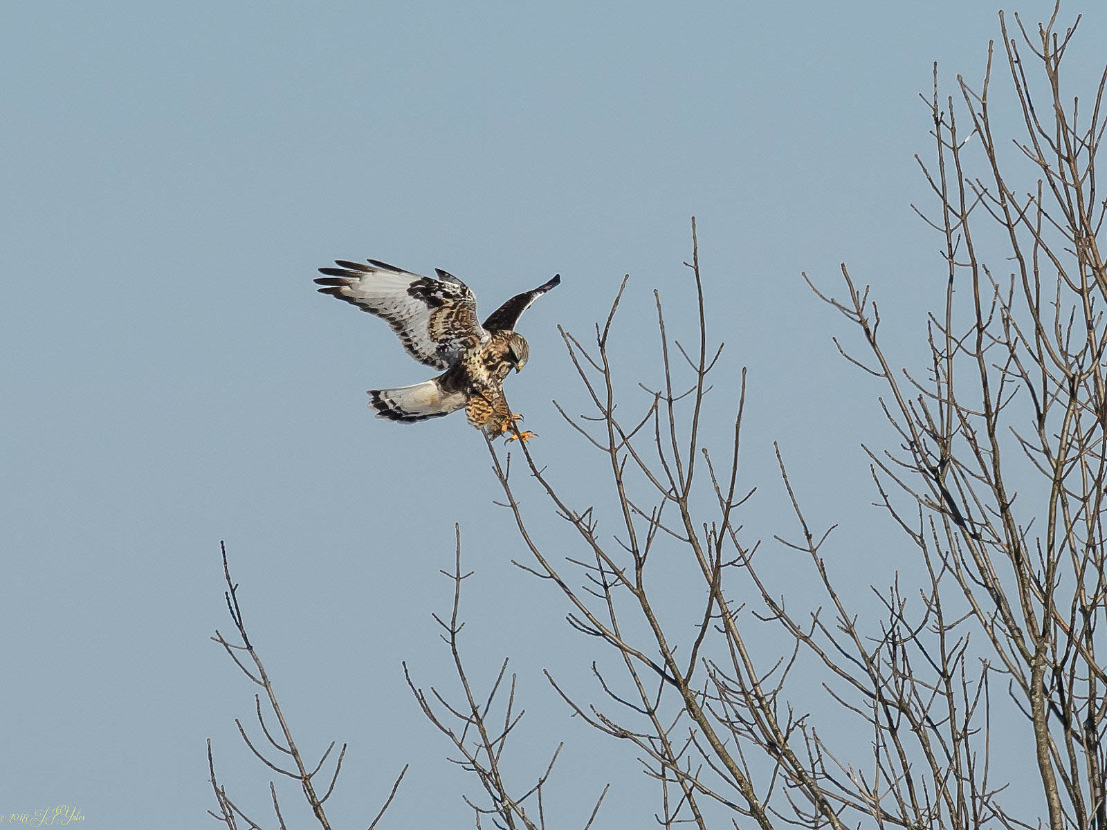 Rough-legged Hawk Light phase