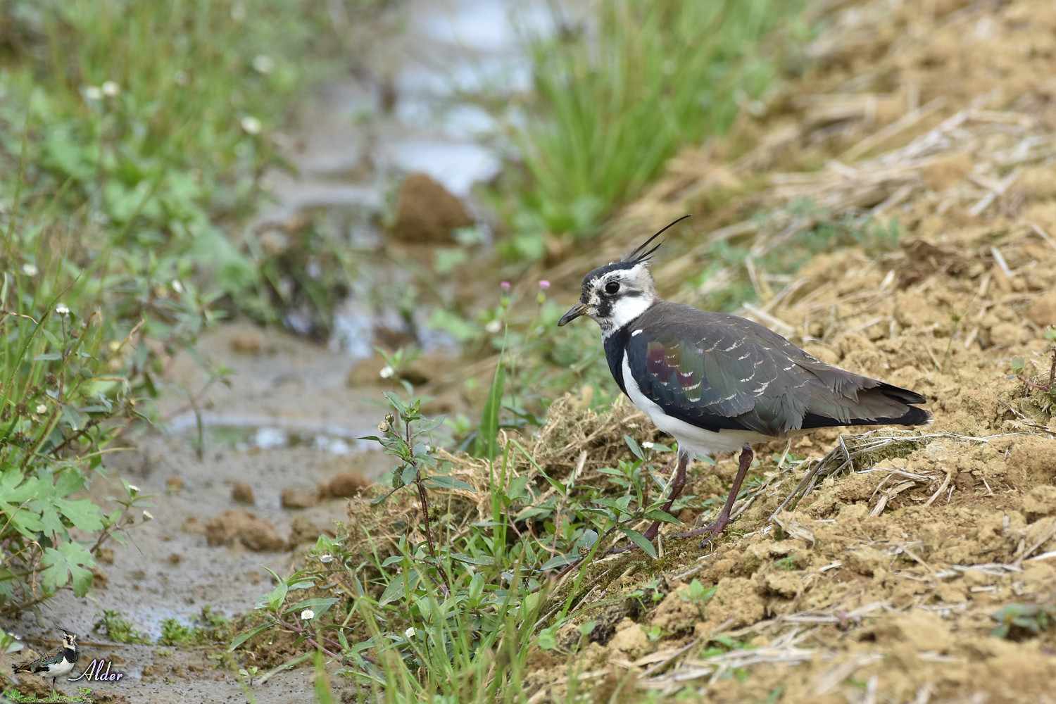 Northern_Lapwing_7332