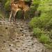 Rusa alfredi - Visayan Spotted Deer