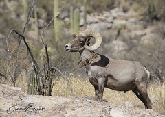 Bighorn Ram 2