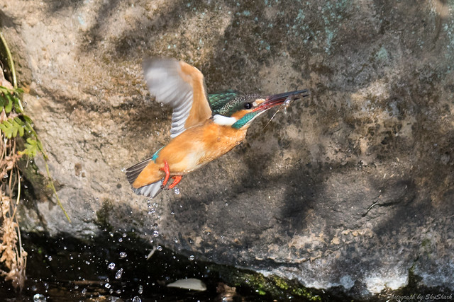 20180211-kingfisher-DSC_8269