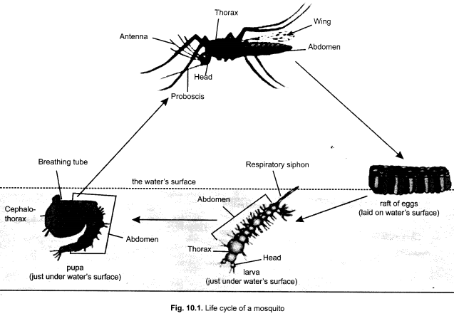 Cbse class 9 science practical skills life cycle of mosquito cbse class 9 science practical skills life cycle ccuart Choice Image