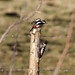 Great spotted woodpecker f & m
