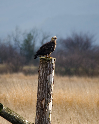 Eagles in Skagit Valley-022