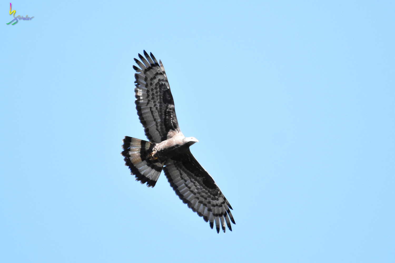 Honey_Buzzard_6006