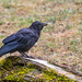 Small photo of American Crow
