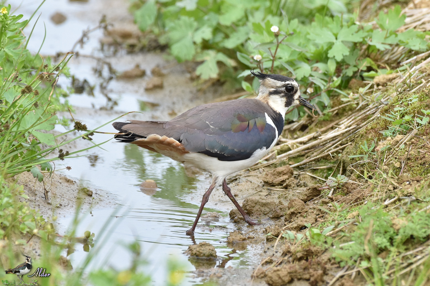 Northern_Lapwing_7587