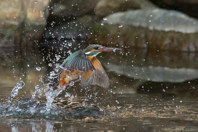 20180121-kingfisher-DSC_5039