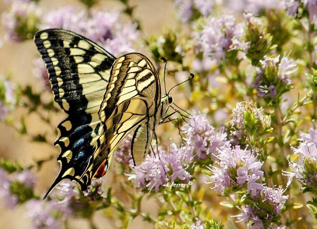El macaón o mariposa rey ... Papilio machaon .... es una de las mariposas más espectaculares que tenemos por Andalucía. Existen multitud de especies muy bonitas, pero por su tamaño, colorido y formas ésta es quizás una de las más vistosas.  :
