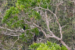 White-thighed hornbill (Bycanistes albotibialis), Dzanga Sangha Special Reserve, CAR
