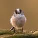 Long-tailed Tit Aegithalos caudatus rosaceus )