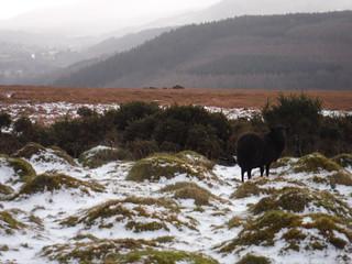 Black Sheep on Cefn Moel
