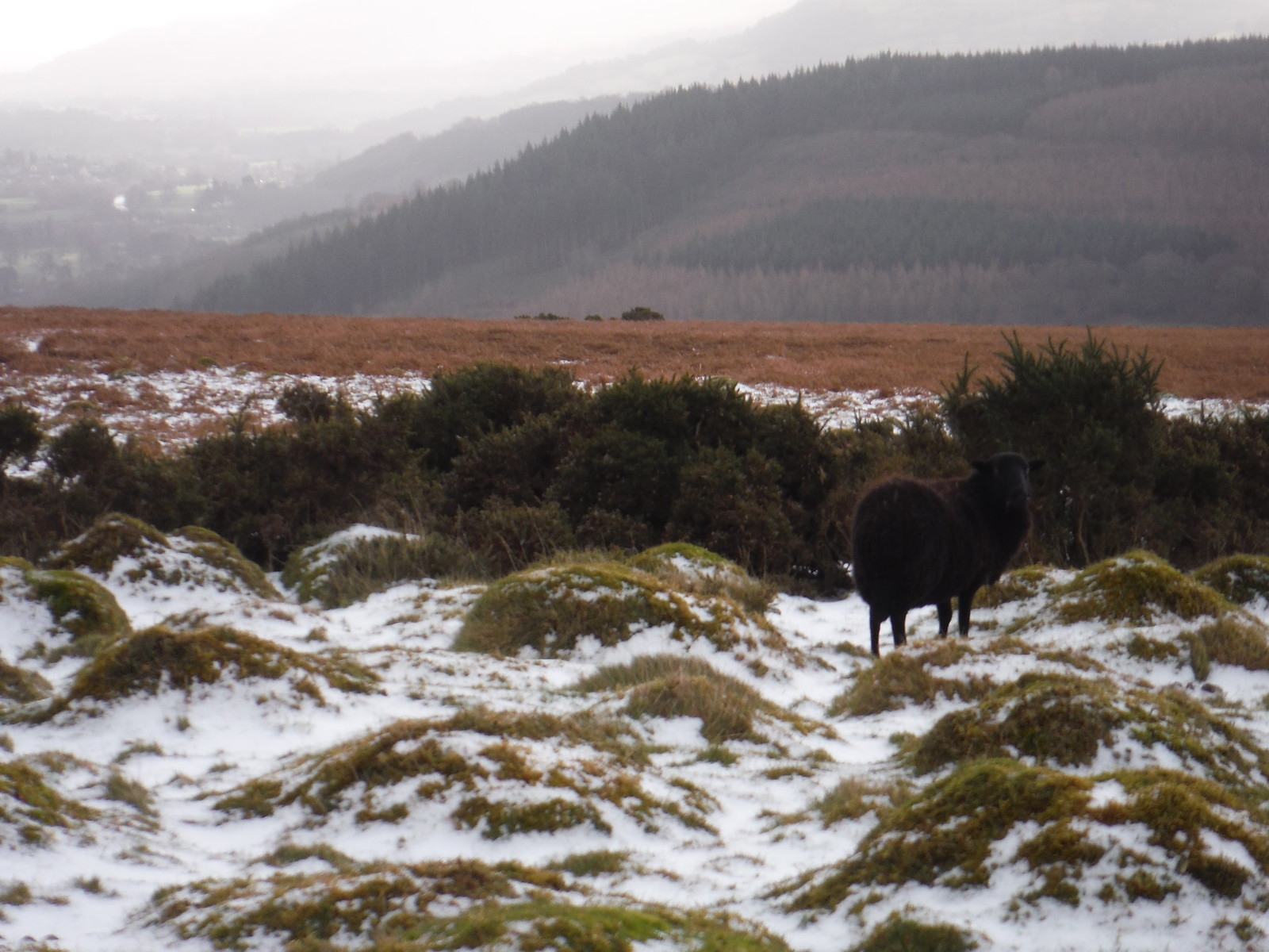 Black Sheep on Cefn Moel SWC Walk 308 - Bwlch Circular (via Mynydd Troed and Llangorse Lake)