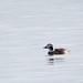 Clangula hyemalis Long-tailed Duck