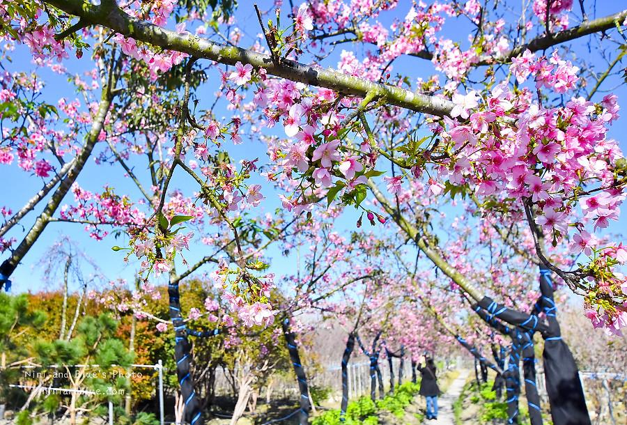 芬園花卉休憩園區-櫻花園區201806
