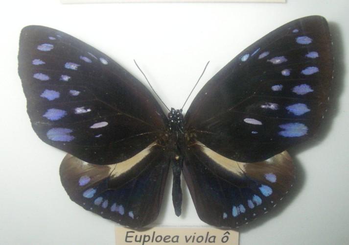 Euploea westwoodii 39620771865_fd5a5fb246_o