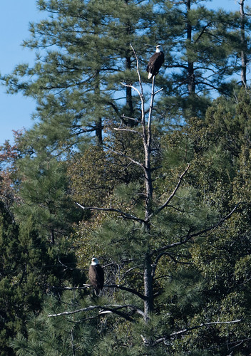 2_adult_bald_eagles_in_a_tree-20180217-102