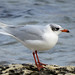 Adult Mediterranean Gull (winter plumage)