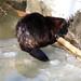 Evil Beaver eating a log