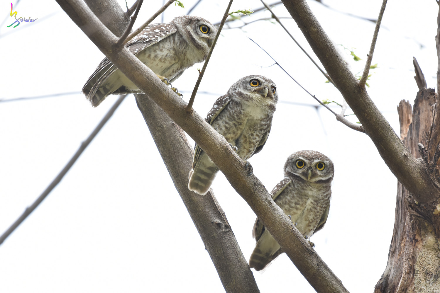 Spotted_Owlet_3738