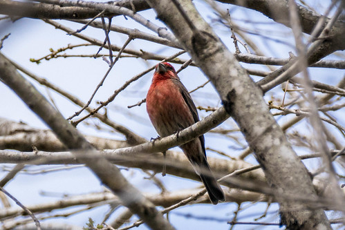 , House Finch at my house, Family Blog 2020, Family Blog 2020