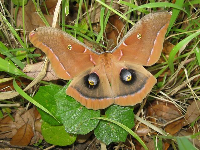 Polyphemus Moth Antheraea polyphemus, Canon POWERSHOT SD1100 IS