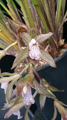 Cymbidium whiteae