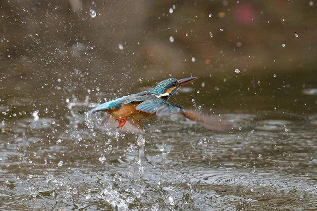 20180203-kingfisher-DSC_7336