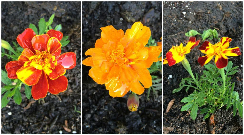 Use marigolds to help your gardens grow naturally!