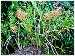 Prolific flowering Grammatophyllum speciosum (Giant Orchid, Tiger Orchid, Sugar Cane Orchid, Queen of the Orchids), Feb 27 2018