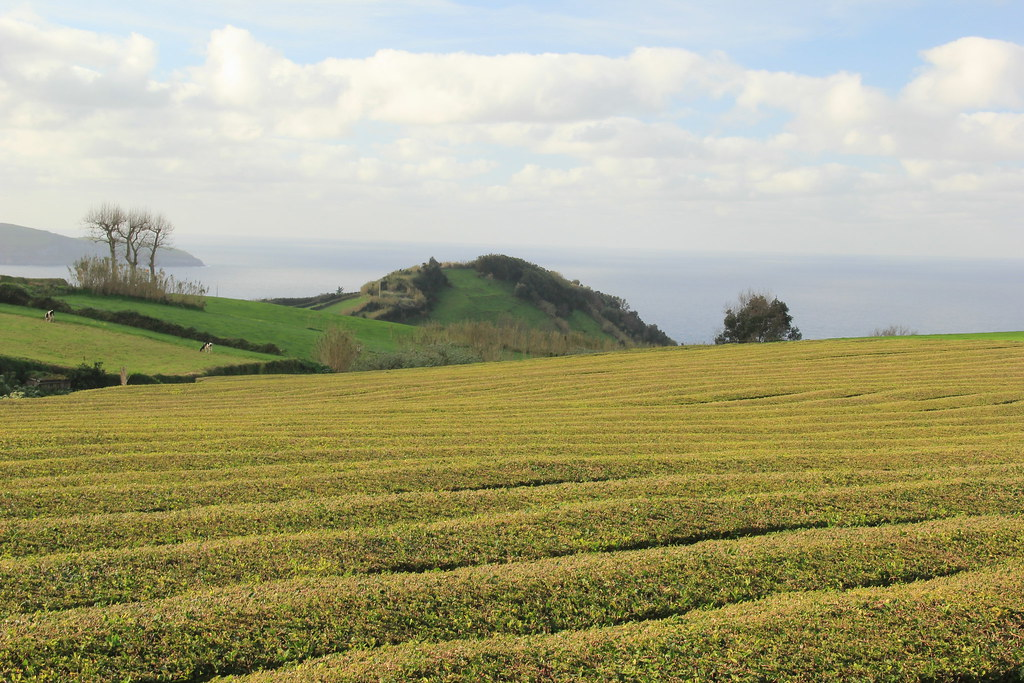 Gorreana Tea Plantation, Sao Miguel