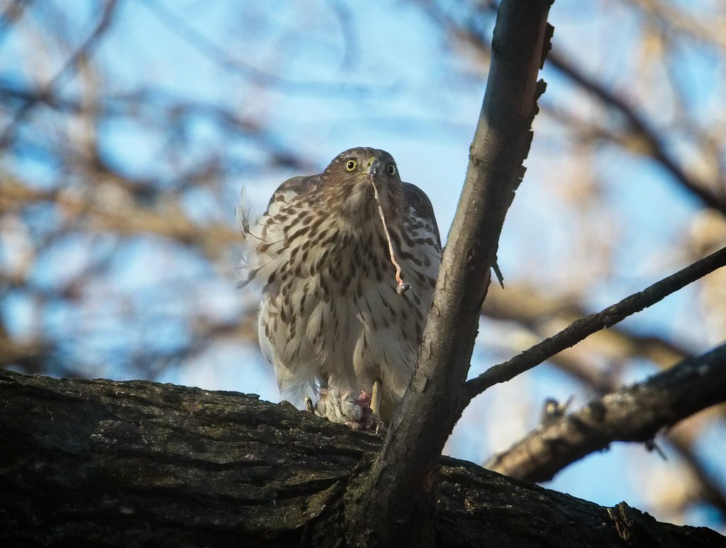 Cooper's hawk eats a rat