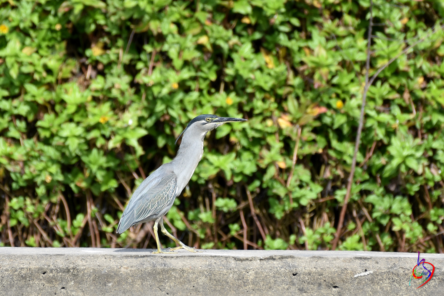 Striated_Heron_2148