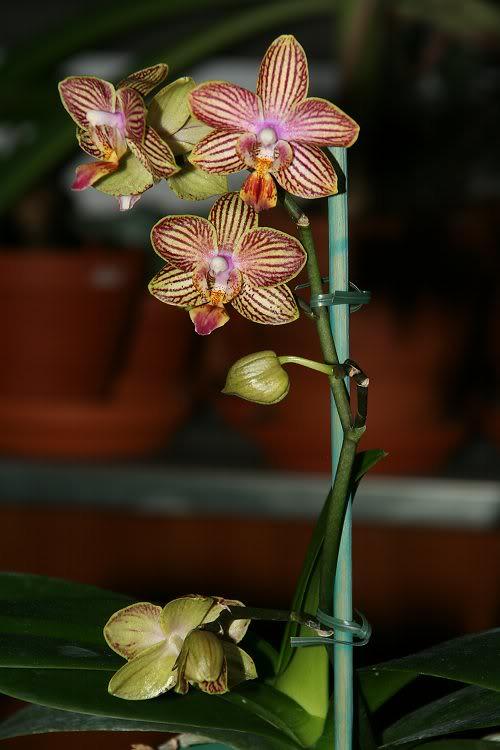 Les orchidées chez Sougriwa - Page 3 39109049884_cdfcd617d4_b