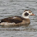Long Tailed Duck........