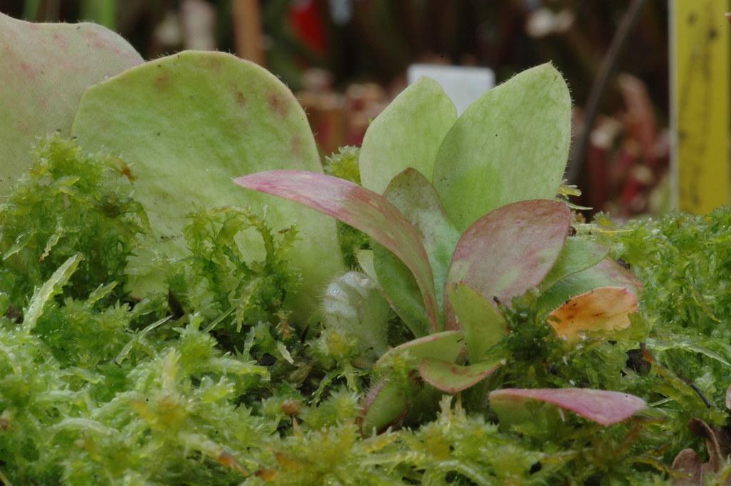 Cepahlotus follicularis