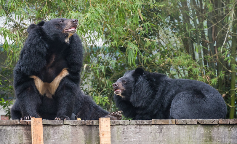 moon bears with bamboo