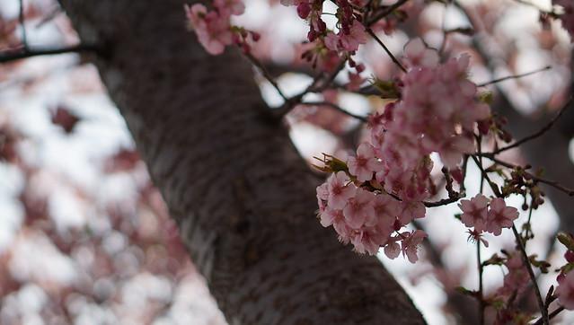 DSC07173三浦海岸桜まつり