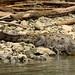 Sumidero Canyon: Crocodile por gert_vervoort