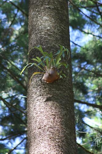 Elkhorn Fern (Platycerium bifurcatum)