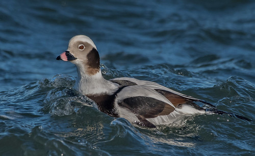 Male Longtail Duck (old squaw)