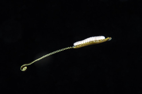 Epitoke Polychaete Worm with eggs