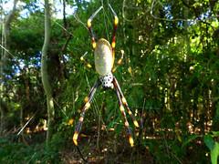 Hanging around (Golden Orb Weaver spider - top)