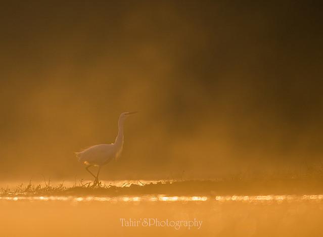 Little Egret in Golden misty morning