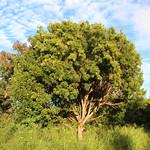 Swietenia mahagoni tree