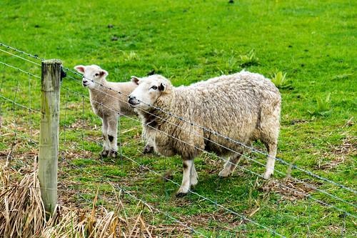 animals icecap lamb landscape mountain newzealand scenery sheep sights south views water otago nz