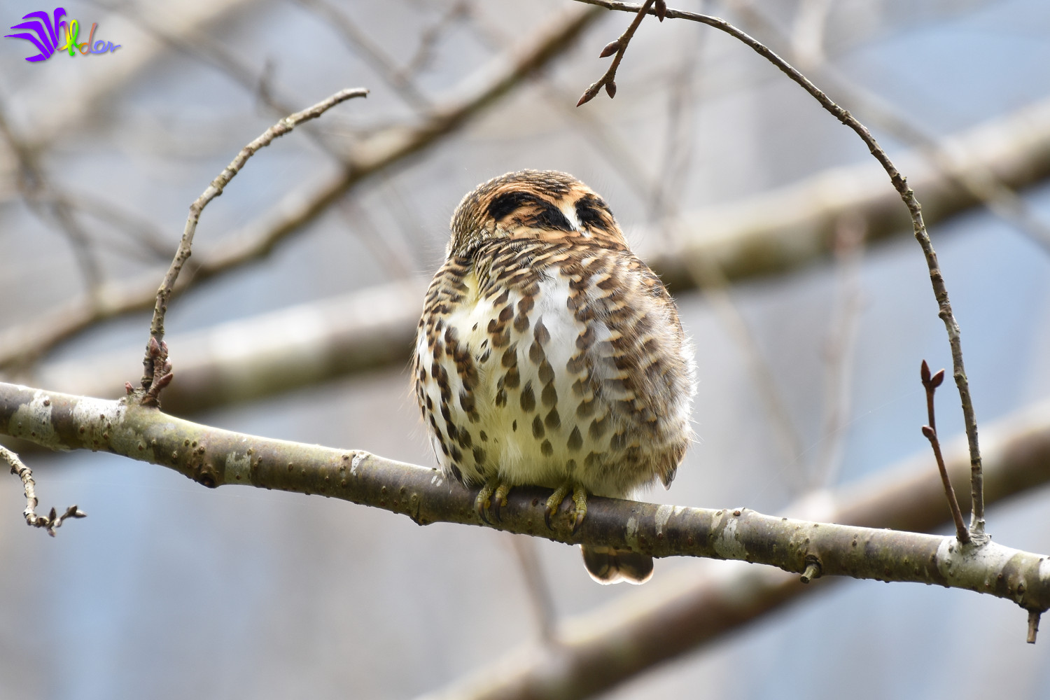 Collared_Owlet_5714