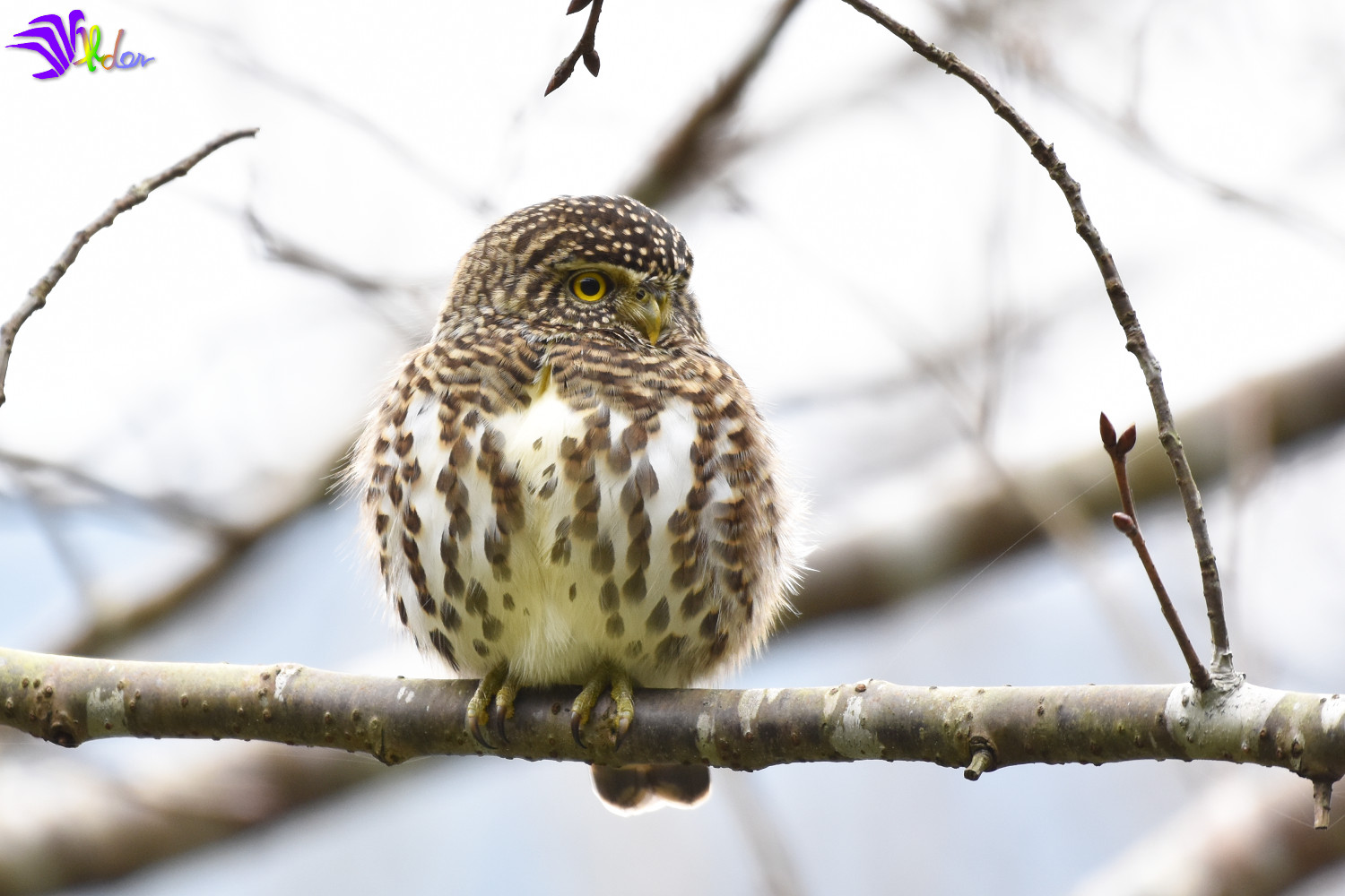 Collared_Owlet_5666