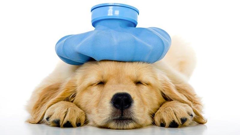 Periksakan anjing peliharaan Anda jika memiliki gejala flu.